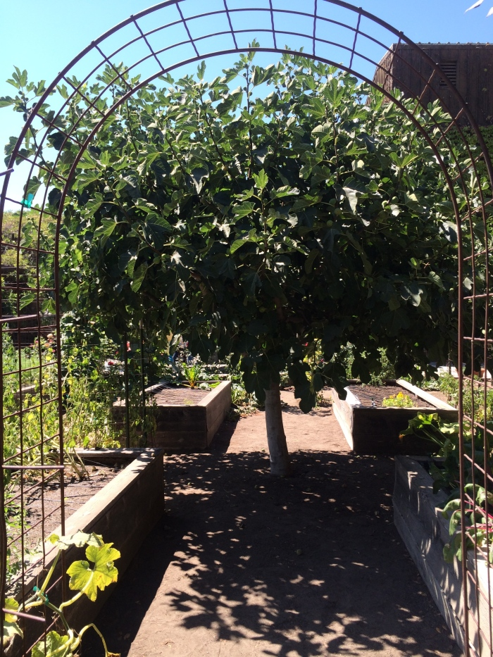 Fig Tree at RSV